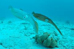 Which Cephalopod can Swim Faster, a Squid or an Octopus, and How Fast?