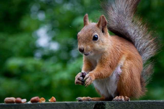squirrel go home