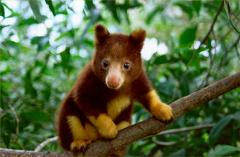 How did the Tree Kangaroo get its Name, Where does it Live, and Does it really Live in Trees?