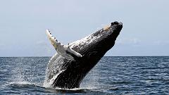 How Long Do Whales Typically Live for and How Can You Tell How Old a Whale Is?
