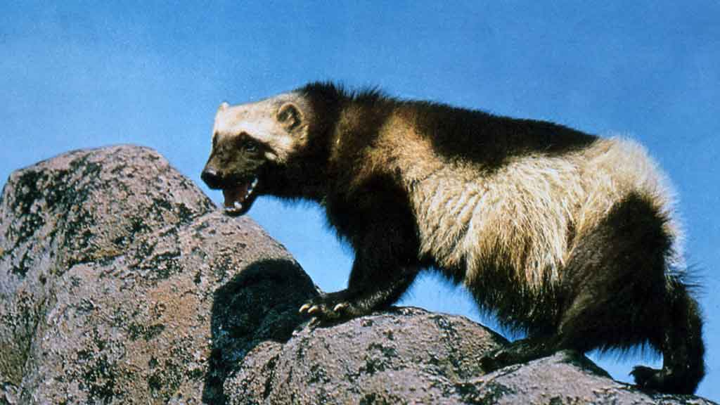 wolverine on a rock