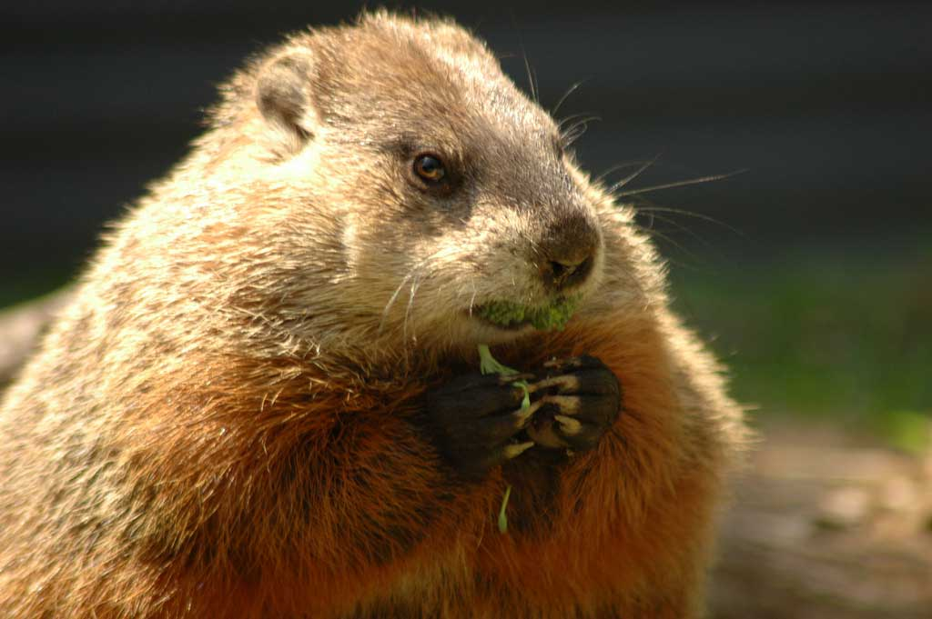 what does the name woodchuck mean