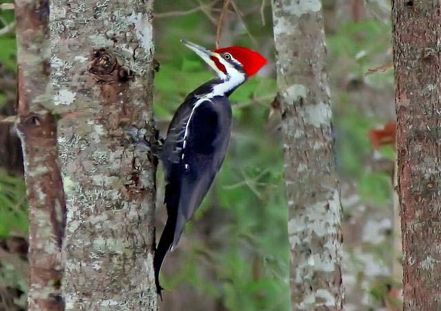 woodpeckers peck wood